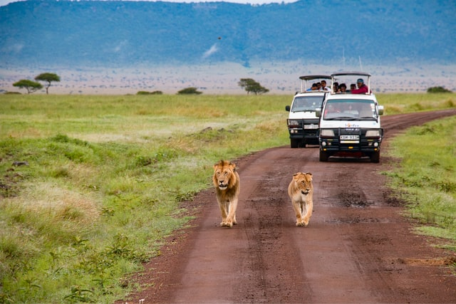 two lions on road